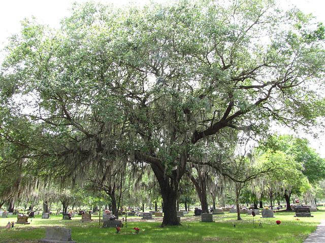 A grandfather Oak ...