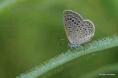 20100926-0480 Lesser Grass Blue