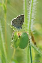 20100926-0498 Lesser Grass Blue