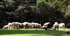 Schafe auf der Lahneralm