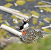 Atlantic Puffin - Lunde - Papageitaucher