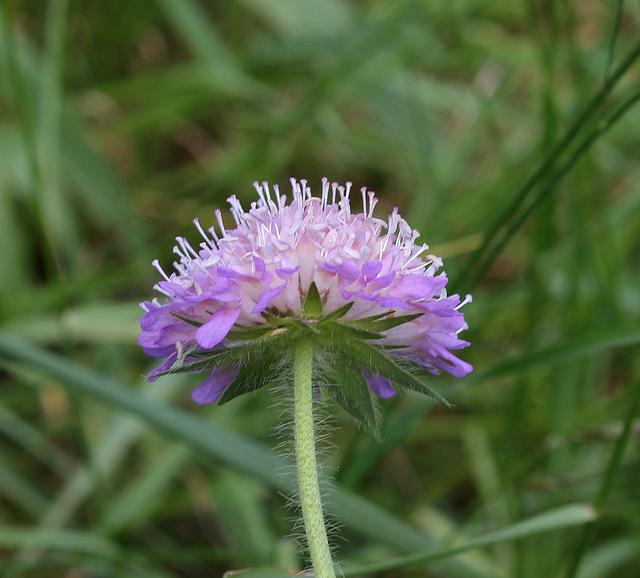 Knautia arvensis (10)