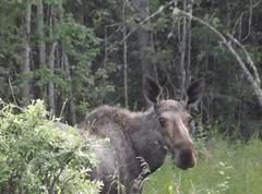 Sunday moose