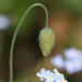 Poppy flower bud
