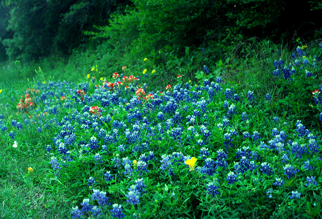 Texas Bluebonnets (Lupinus texensis)
