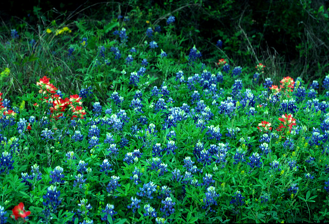 Bluebonnets (Lupinus texensis) and Indian Paintbrush (Castilleja indivisa)
