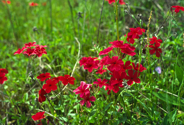 Red Phlox (Phlox drummondii)