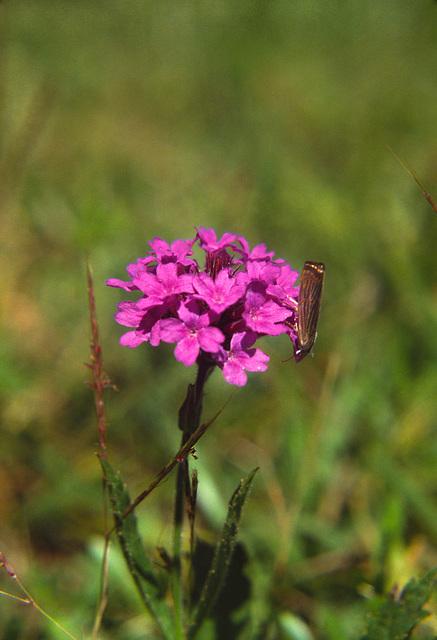 Prairie Verbena (Verbena bibinnatifida)