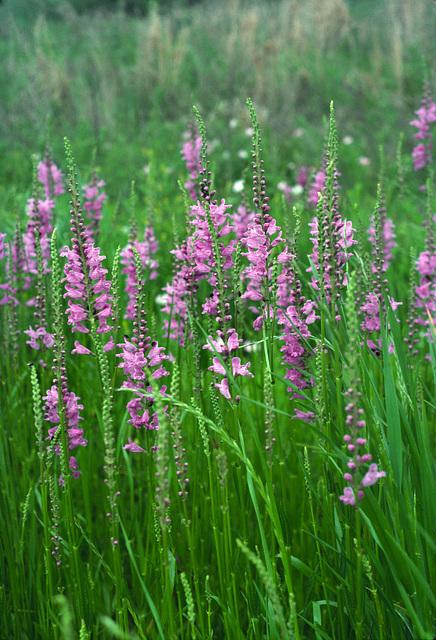 Spring Obedient Plant (Physostegia intermedia)
