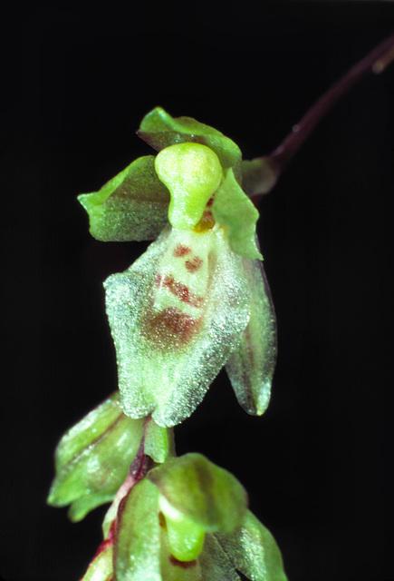 Leochilus ampliflorus