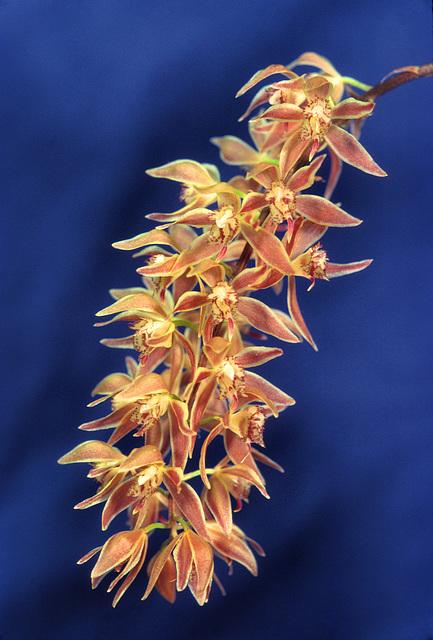 Macradenia multiflora 'Ray Palmer'