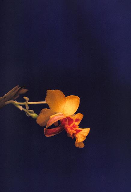 Lockhartia lunifera