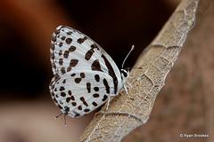 20070406-0369 Common Pierrot
