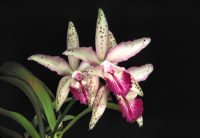 Laeliocattleya Seagulls Royal Flush