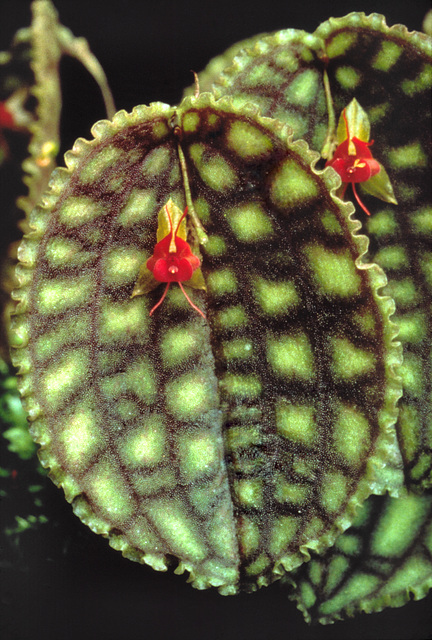 Lepanthes calodictyon 'Eichenfels'