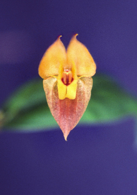 Lepanthes ophelma