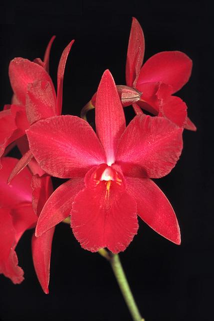 Hawkinsara Hunabu Red Dawn 'Cariad's Garnet'