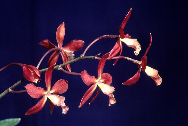 Kirchara (Slc. Little Beamche x Epi. guatemalensis)