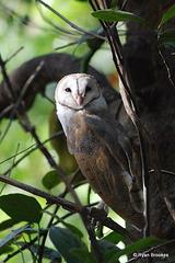 20080504-0059 Barn Owl