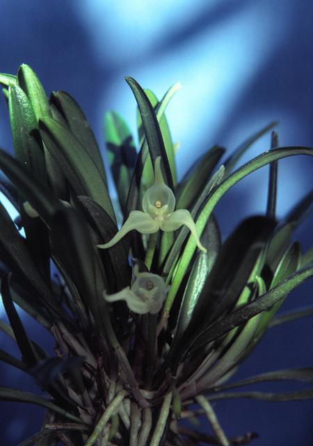 Dryadella albicans