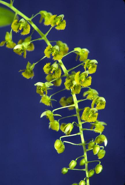 Dipteranthus species
