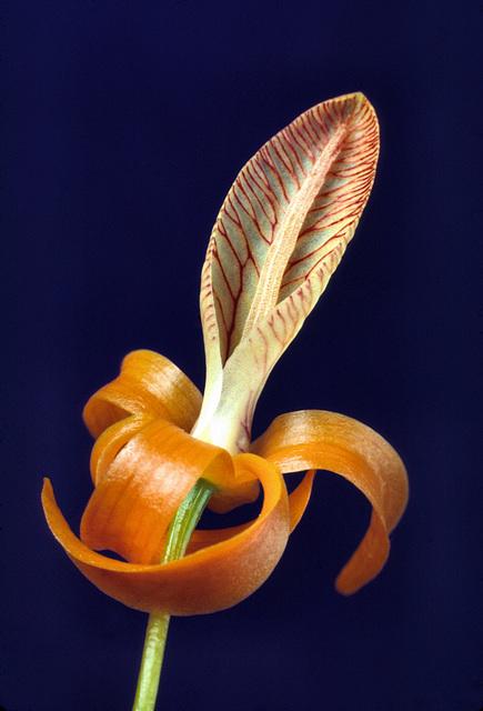 Dendrobium unicum