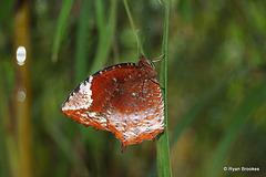20061004-0186 Common Palmfly