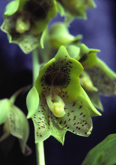 Catasetum Dapper Dots