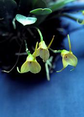 Acinopetala floribunda