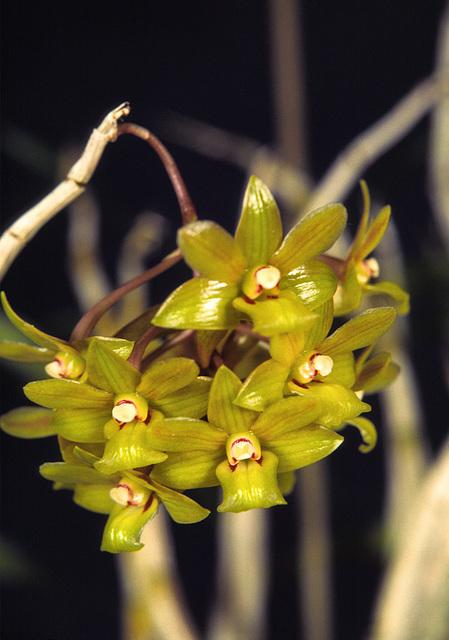 Dendrobium querreroi 'La Selva'
