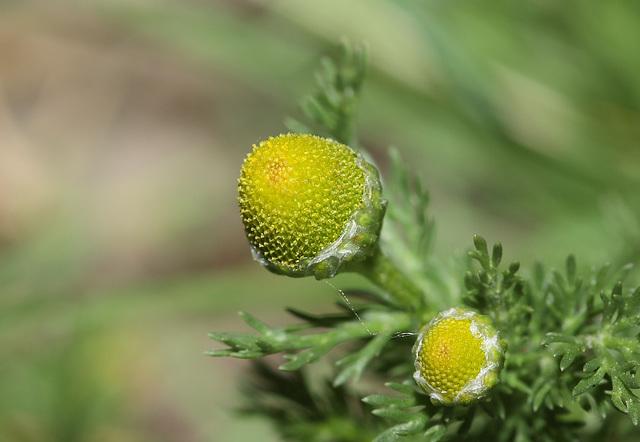Pineapple weed (Matricaria discoidia)