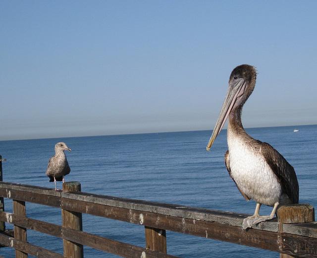 Oceanside Pier Pelicans 0813a