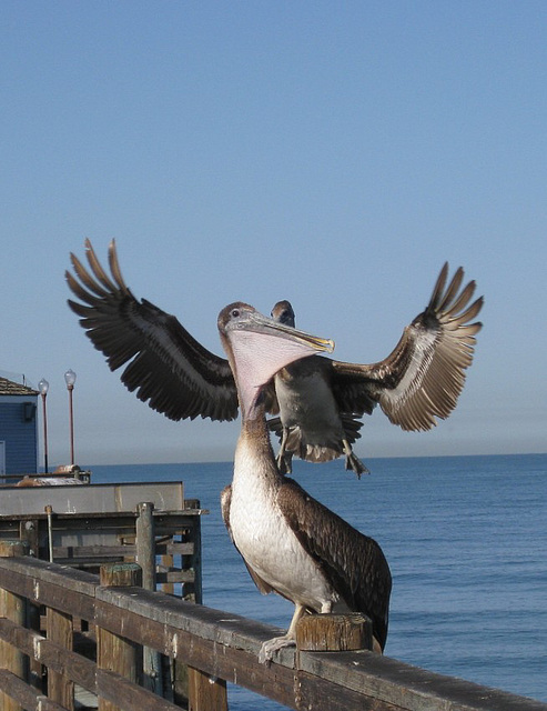 Oceanside Pier Pelicans 0814a