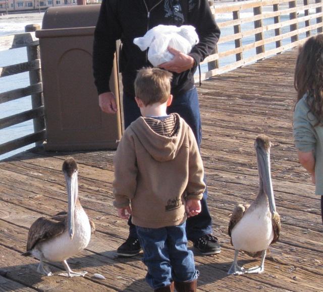 Oceanside Pier Pelicans 0818a