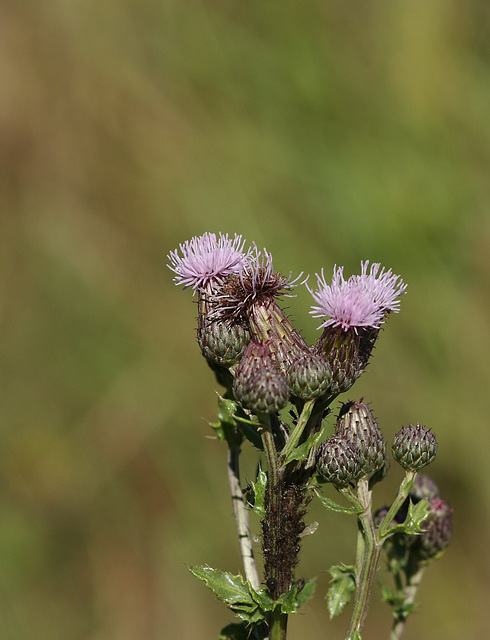 Creeping thistle (Cirsium arvense)