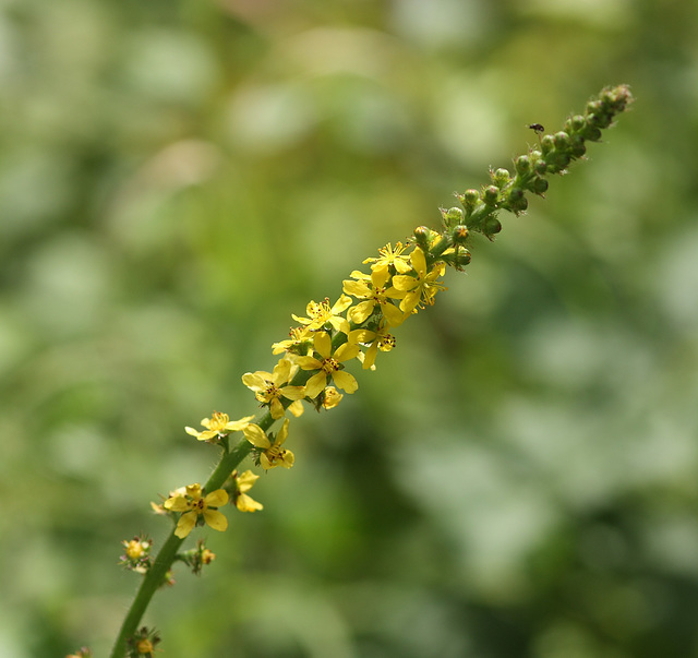 Agrimony (Agrimonia eupatoria)