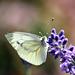 Schmetterling an unserem Lavendel
