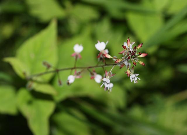 Enchanter's nightshade (Circaea lutetiana)