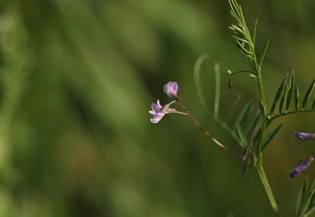 Smooth tare (Vicia tetrasperma)
