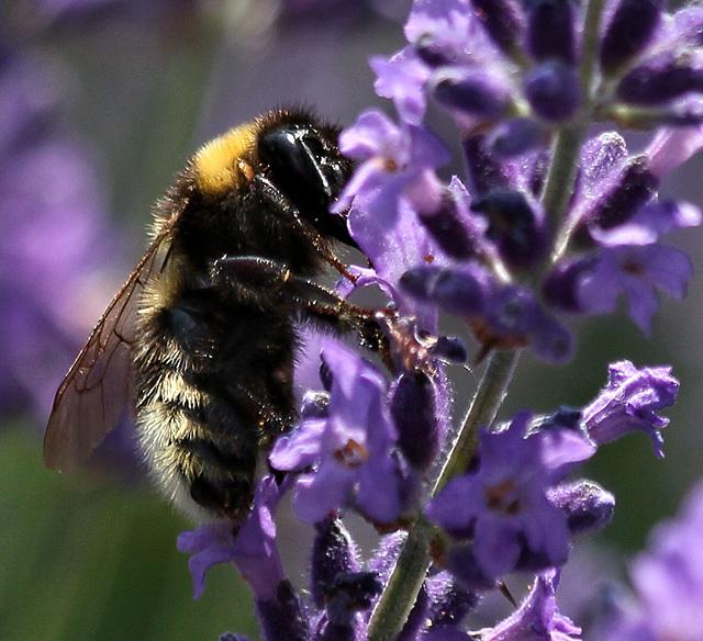 Hummel + Lavendel (PIP)