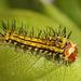 Japanese Oak Silkmoth (Antheraea yamamai) caterpillar