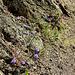 Jasione sur granite décomposé