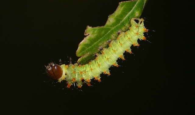 Antheraea frithi caterpillar, 2nd instar