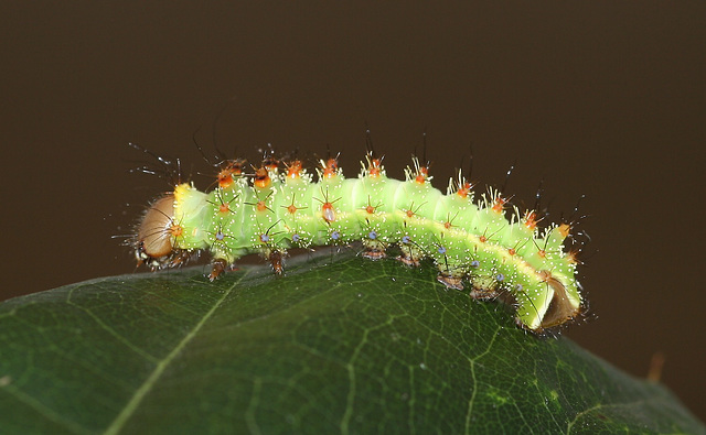 Antheraea frithi caterpillar, 3rd instar
