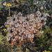 Sedum album - Orpin blanc