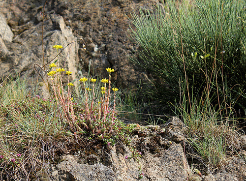 Sedum rupestre sur granite