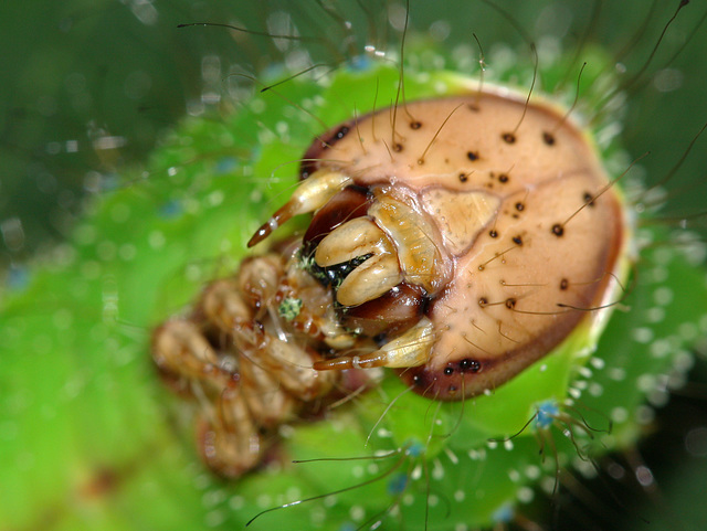 Chinese Oak Silkmoth (Antheraea pernyi) caterpillar