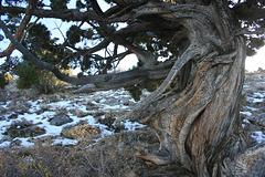 Gnarly juniper
