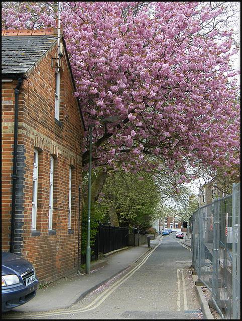 Jericho cherry blossom