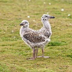 Black Backed Gull chicks.